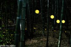 相生山緑地 竹林のヒメボタル③