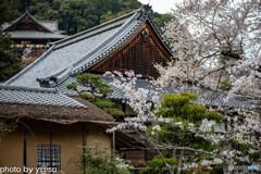長谷寺の桜⑨