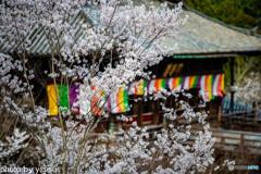 長谷寺の桜⑤