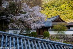長谷寺の桜④