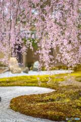 高台寺の桜①