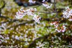勧修寺の桜①