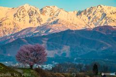 残雪と一本桜