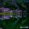 中網湖の桜①