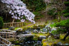 長谷寺の桜⑩