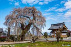 大廣院の桜①