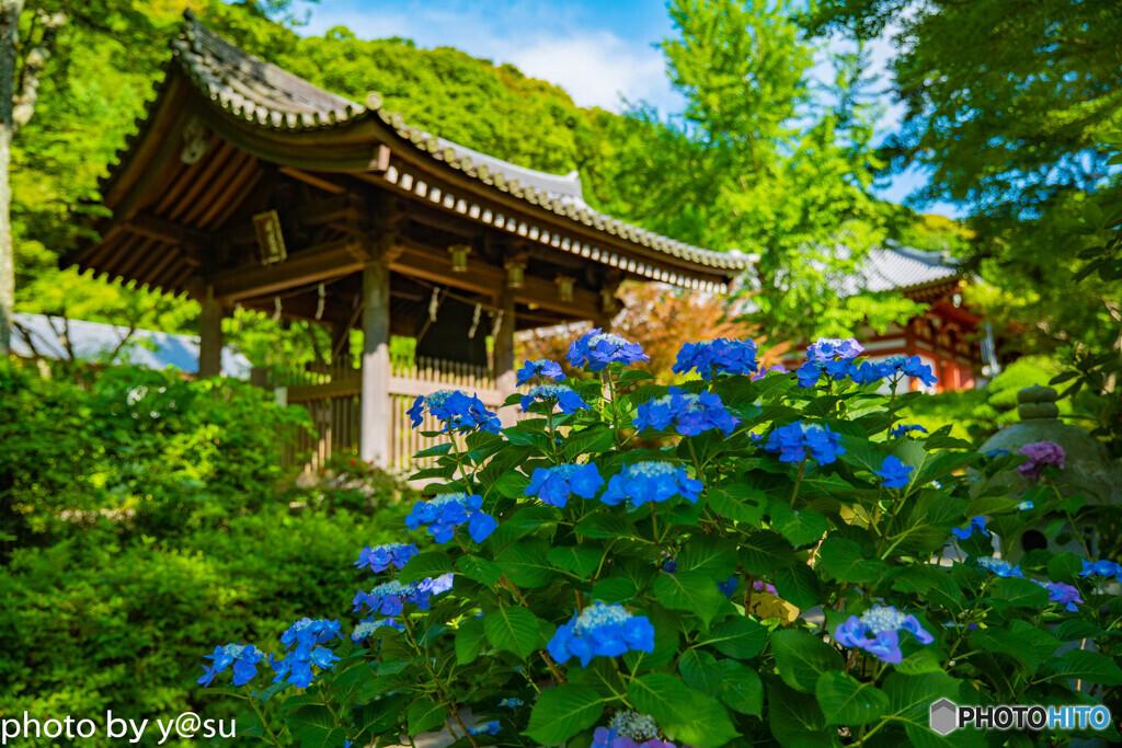久安寺の紫陽花②
