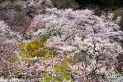 美しき春の長谷寺⑧