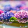 久安寺の紫陽花①