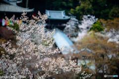 長谷寺の桜③