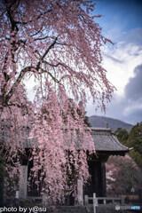 光前寺のしだれ桜①