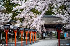 平野神社の桜①