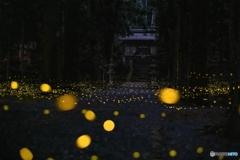 内尾神社のヒメボタル