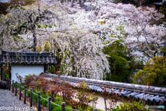 長谷寺の桜⑥