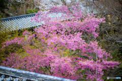 長谷寺の桜①
