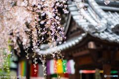六角堂[頂法寺]の桜