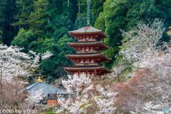 長谷寺の桜⑦