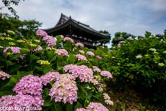 丹州観音寺の紫陽花①