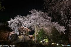 長延寺の桜ライトアップ②