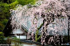 美しき春の長谷寺⑥