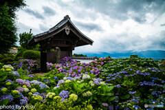法船寺の紫陽花①