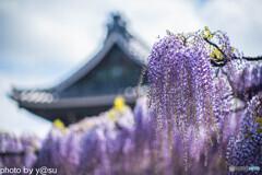 竹鼻別院の藤棚