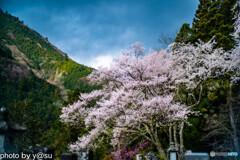 春景の身延山久遠寺④