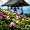 法船寺の紫陽花②
