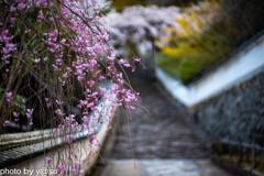 長谷寺の桜②