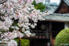 本法寺の桜②