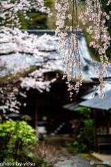 美しき春の長谷寺⑨