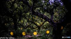 相生山緑地 梅林のヒメボタル③