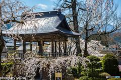 長玅寺の桜①