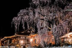 春景の身延山久遠寺①