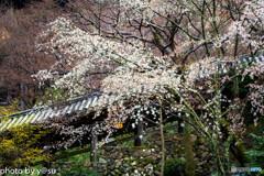 美しき春の長谷寺⑤