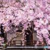 春の妙満寺