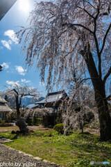 長玅寺の桜②