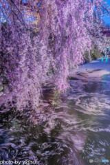 高島城址の花筏