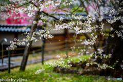 瑞龍寺の枝垂れ桜