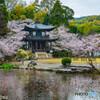 勧修寺の桜②