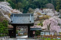 長谷寺の桜⑧