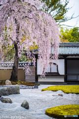 高台寺の桜③