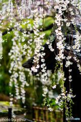 美しき春の長谷寺⑦
