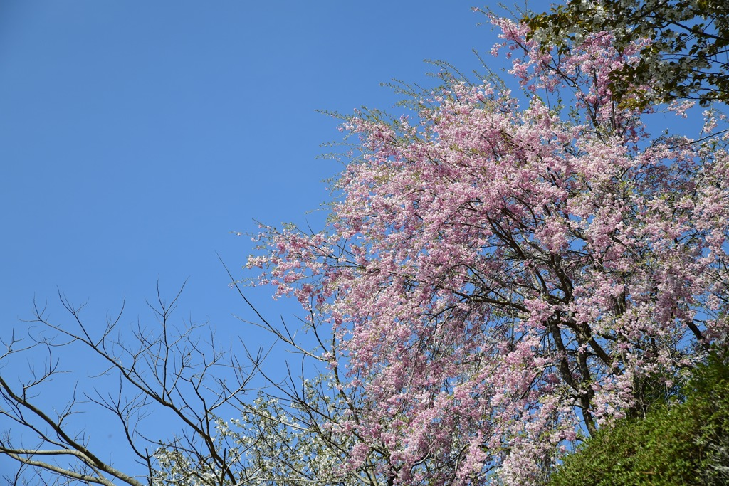 散りゆく桜を追いかけて8