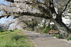 散りゆく桜を追いかけて2