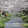 観音寺川の桜5