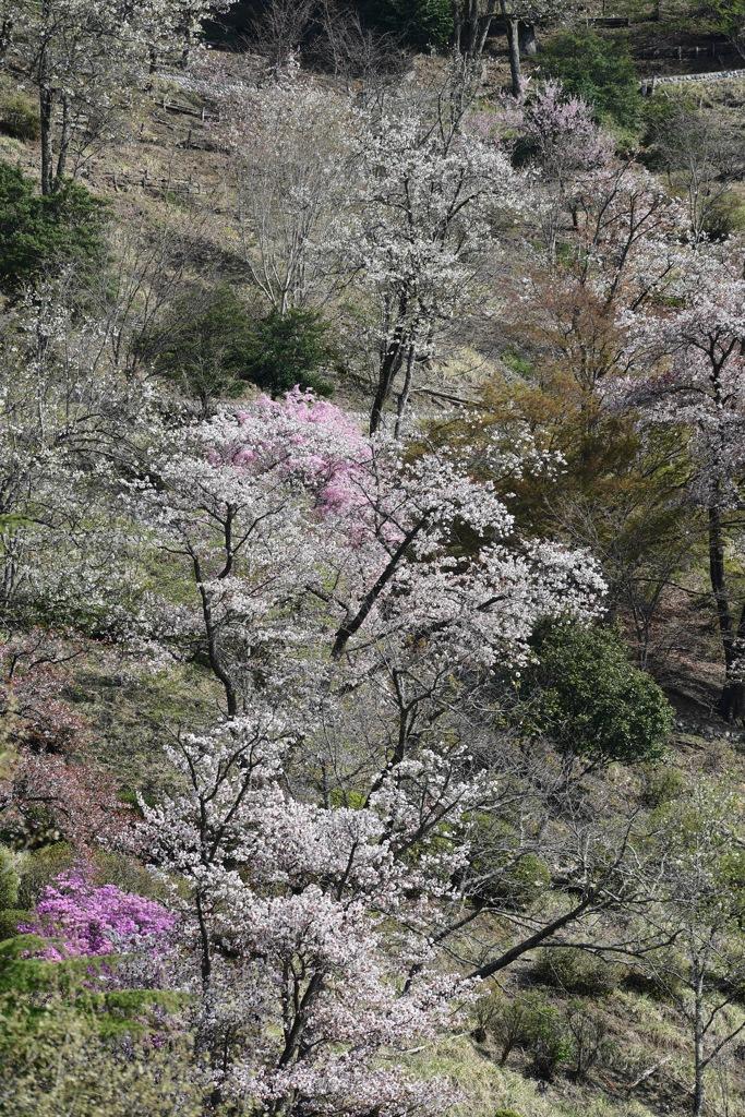 散りゆく桜を追いかけて6