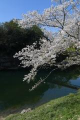 散りゆく桜を追いかけて4