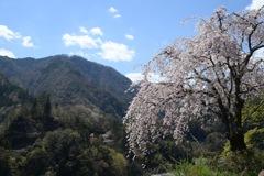 散りゆく桜を追いかけて5