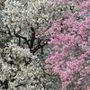 春の新宿御苑3